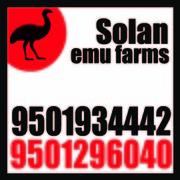 Emu farm in JODHPUR,  Solan Emu Farms 9501934442   RERE775