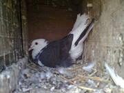 a fancy black n white bell bottom pigeon,  n white n grey mix