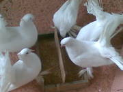 Fantail and Ordinary Pigeon for sale